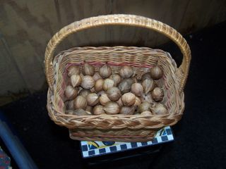 Hickory nuts 003