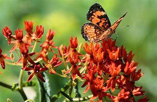 Orange milkweed
