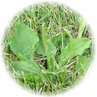 Herbs_plantain